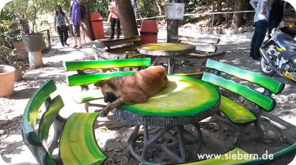 Hund im Tempel (Wat)