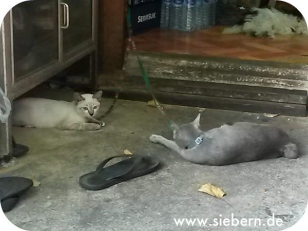 Katzen Thailand